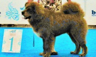 Гладиатор лучший щенок тибетского мастифа!